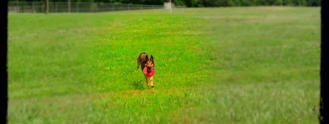 Niko Off Leash Obedience Memphis