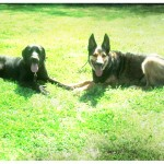 Sam, the Lab mix, and Niko, German Shepherd, practicing down stays on a sunny day in Memphis, TN
