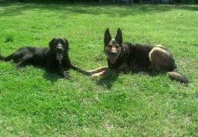 Sam Lab Memphis Dog Training