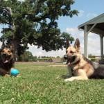 Memphis Obedience Practice Niko and Logan