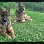 German Shepherds Zooey, the puppy, and adult dog Khan practicing down stays at Memphis park