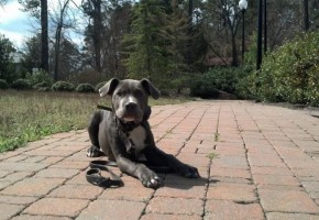 Off Leash Obedience in Memphis with Sampson