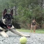 Memphis Obedience Practice with Tennis Ball