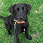 Lab Puppy Paddy's first day of obedience training