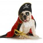 Bulldog as a Pirate for Halloween in Memphis
