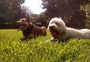 Dog Training Memphis Down Stay Walter