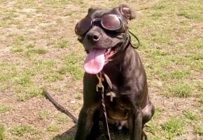 Munchkin Enjoying the Sunny Spring Weather during training