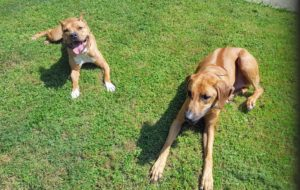 Pit Bull and Rhodesian Ridgeback dog during Memphis dog training class